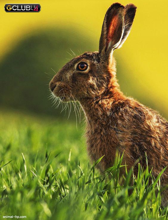 กระต่ายแอฟริกัน